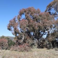 Eucalyptus melliodora (Yellow Box) at Rendezvous Creek, ACT - 22 May 2021 by jbromilow50