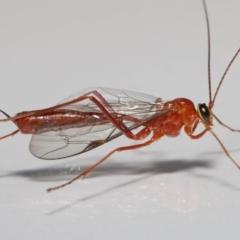 Ichneumonidae sp. (family) (Unidentified ichneumon wasp) at Evatt, ACT - 22 May 2021 by TimL
