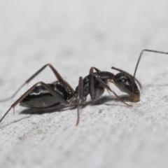 Camponotus nigroaeneus (Sugar ant) at Downer, ACT - 14 May 2021 by TimL