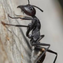 Camponotus suffusus (Golden-tailed sugar ant) at Downer, ACT - 18 May 2021 by TimL