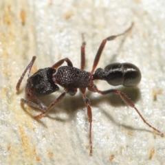 Rhytidoponera tasmaniensis at Downer, ACT - 18 May 2021 by TimL