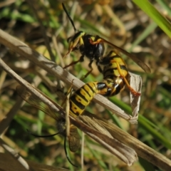 Vespula germanica (European wasp) at Fyshwick, ACT - 19 May 2021 by Christine