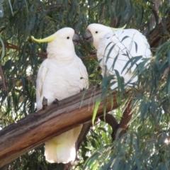 Cacatua galerita (Sulphur-crested Cockatoo) at Hackett, ACT - 22 May 2021 by Christine