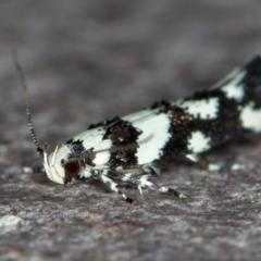 Macrobathra (genus) (A cosmet moth) at Melba, ACT - 22 Nov 2020 by Bron