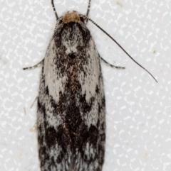 Phylomictis maligna (A Concealer moth) at Melba, ACT - 22 Nov 2020 by Bron
