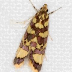 Tisobarica thyteria (A concealer moth) at Melba, ACT - 22 Nov 2020 by Bron