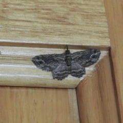 Chloroclystis filata (Filata Moth, Australian Pug Moth) at Aranda, ACT - 23 May 2021 by KMcCue