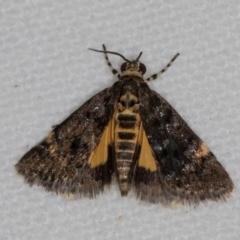 Heliothela ophideresana (A Crambid Moth (Scopariinae)) at Melba, ACT - 20 Nov 2020 by Bron