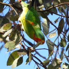 Lathamus discolor (Swift Parrot) at Kambah, ACT - 21 May 2021 by MatthewFrawley