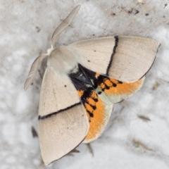 Gastrophora henricaria (Fallen-bark Looper, Beautiful Leaf Moth) at Melba, ACT - 20 Nov 2020 by Bron