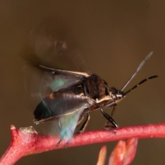Cermatulus nasalis (Predatory shield bug, Glossy shield bug) at Symonston, ACT - 23 May 2021 by rawshorty