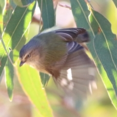 Smicrornis brevirostris (Weebill) at Nail Can Hill - 23 May 2021 by Kyliegw