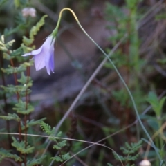 Wahlenbergia stricta subsp. stricta (TBC) at Nail Can Hill - 23 May 2021 by Kyliegw