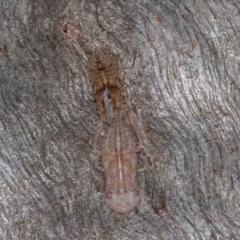 Ledromorpha planirostris (TBC) at Symonston, ACT - 23 May 2021 by rawshorty