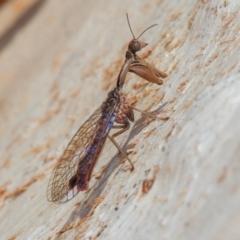 Mantispidae (family) (Unidentified mantisfly) at Symonston, ACT - 23 May 2021 by rawshorty