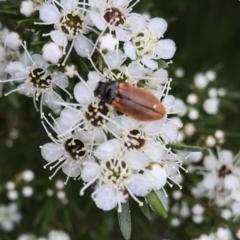 Castiarina subpura (A jewel beetle) at Denman Prospect, ACT - 13 Dec 2020 by Alice