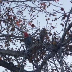 Callocephalon fimbriatum (Gang-gang Cockatoo) at Albury, NSW - 21 May 2021 by ClaireSee