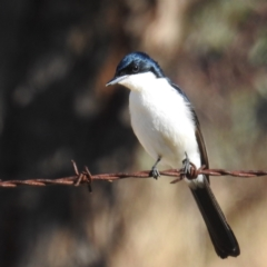 Myiagra inquieta (Restless Flycatcher) at Mcquoids Hill - 23 May 2021 by HelenCross