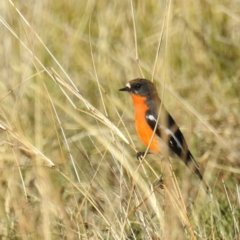 Petroica phoenicea (Flame Robin) at Cooleman Ridge - 23 May 2021 by HelenCross