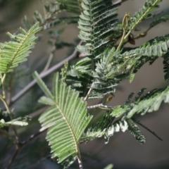 Acacia dealbata subsp. dealbata (Silver Wattle) at Nail Can Hill - 23 May 2021 by Kyliegw