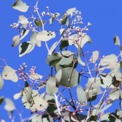 Eucalyptus polyanthemos (Red Box) at Nail Can Hill - 23 May 2021 by Kyliegw