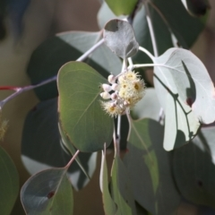 Eucalyptus polyanthemos (Red Box) at Albury - 23 May 2021 by Kyliegw
