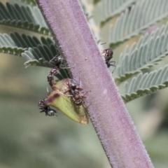 Sextius virescens (Acacia Tree Hopper, Acacia Horned Treehopper) at Sth Tablelands Ecosystem Park - 29 Mar 2021 by AlisonMilton