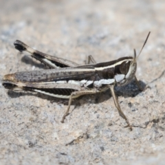 Macrotona australis (Common Macrotona Grasshopper) at Molonglo Valley, ACT - 29 Mar 2021 by AlisonMilton