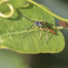 Ichneumonidae sp. (family) (Unidentified ichneumon wasp) at Molonglo Valley, ACT - 29 Mar 2021 by AlisonMilton