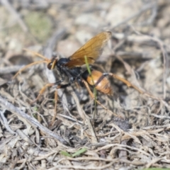 Cryptocheilus sp. (genus) (Spider wasp) at Molonglo Valley, ACT - 29 Mar 2021 by AlisonMilton