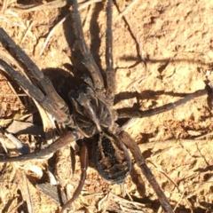 Tasmanicosa sp. (genus) (Unidentified Tasmanicosa wolf spider) at Majura, ACT - 23 May 2021 by YellowButton