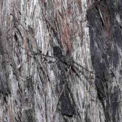Tamopsis sp. (genus) (Two-tailed spider) at ANBG - 18 May 2021 by TimL