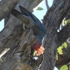 Callocephalon fimbriatum (Gang-gang Cockatoo) at - 23 May 2021 by WingsToWander