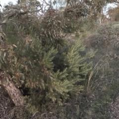Acacia boormanii at Deakin, ACT - 15 May 2021