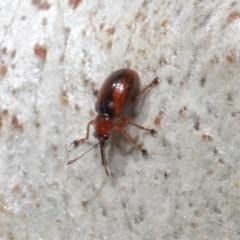 Metopum (genus) (Attelabid weevil) at ANBG - 18 May 2021 by TimL