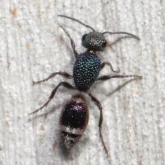 Aglaotilla sp. (genus) (Australian Velvet Ant) at ANBG - 18 May 2021 by TimL