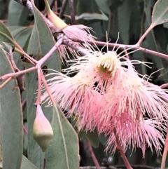 Eucalyptus sideroxylon (Mugga Ironbark) at Yarralumla, ACT - 24 May 2021 by JaneR
