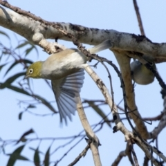 Zosterops lateralis (Silvereye) at Higgins, ACT - 1 Apr 2021 by AlisonMilton