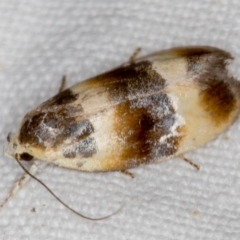 Piloprepes anassa (A Concealer moth) at Melba, ACT - 21 Nov 2020 by Bron