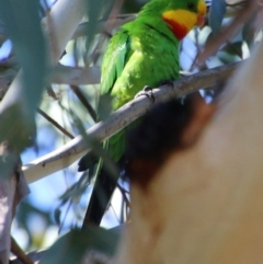 Polytelis swainsonii (Superb Parrot) at Point One - 18 May 2021 by LisaH