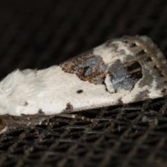 Armactica conchidia (Conchidia Moth) at Melba, ACT - 21 Nov 2020 by Bron