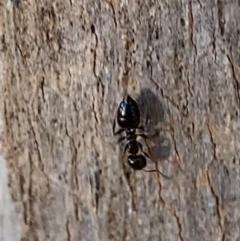 Crematogaster sp. (genus) (Acrobat ant, Cocktail ant) at Murrumbateman, NSW - 22 May 2021 by SimoneC