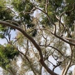 Chenonetta jubata (Australian Wood Duck) at Acton, ACT - 24 May 2021 by KMcCue