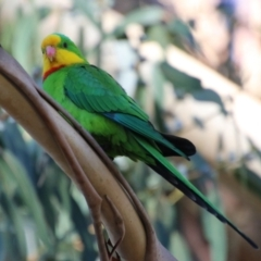 Polytelis swainsonii (Superb Parrot) at Point One - 21 May 2021 by LisaH