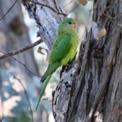 Polytelis swainsonii (Superb Parrot) at Hughes, ACT - 22 May 2021 by LisaH