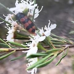 Castiarina crenata (Crenata jewel beetle) at Piney Ridge - 13 Dec 2020 by Alice