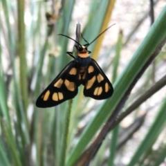 Amata (genus) (Handmaiden) at Piney Ridge - 13 Dec 2020 by Alice