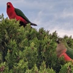 Alisterus scapularis (Australian King-Parrot) at Gateway Island, VIC - 24 May 2021 by ChrisAllen