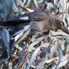 Strepera graculina (Pied Currawong) at Ainslie, ACT - 18 May 2021 by jbromilow50