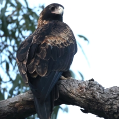 Aquila audax (Wedge-tailed Eagle) at Majura, ACT - 19 May 2021 by jbromilow50